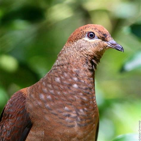 Gift Large Brown Cuckoo Bird by Brown Cuckoo Dove