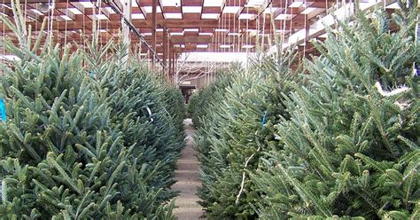 where can i buy goid xmas trees in birmingham al where can i buy a real tree in the chester area chester chronicle