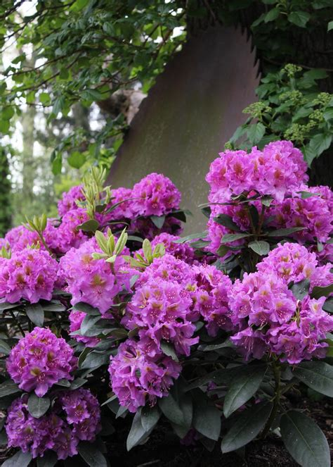 flowering shrubs for shade gardens hgtv - Shade Tolerant Flowering Shrubs