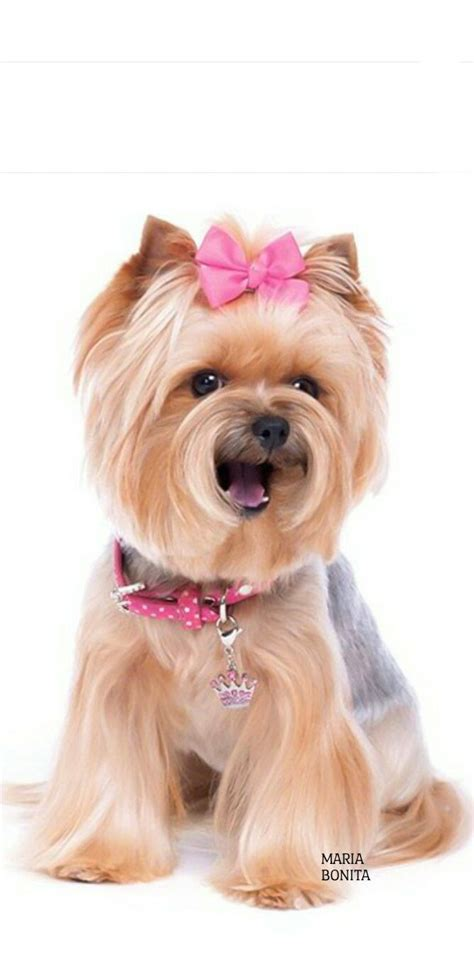 petsmart yorkie 25 best ideas about yorkie hairstyles on terrier puppies