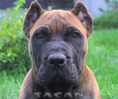 molosser dogs presa canario sacan4 molosser dogs gallery