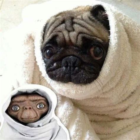 why do pugs snort so much 108 best images about costumes on