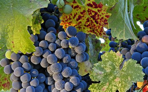 imagenes hd uvas variedades de uvas hd 1920x1200 imagenes wallpapers
