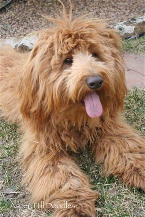 doodle hill club thomson ga water dogs that don t shed top 30 dogs that don t shed