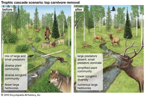 trophic cascade ecology britannica