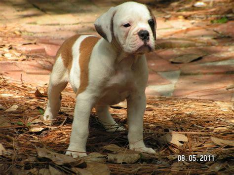 bulldog puppies alabama previous puppies alabama bulldogs