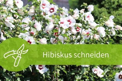 Hibiskus Schneiden Wann by Hibiskus Schneiden 7 1 Schnitte F 252 R Eine Gro 223 E