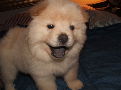 chow puppy pomeranian chow mix puppy breeds picture