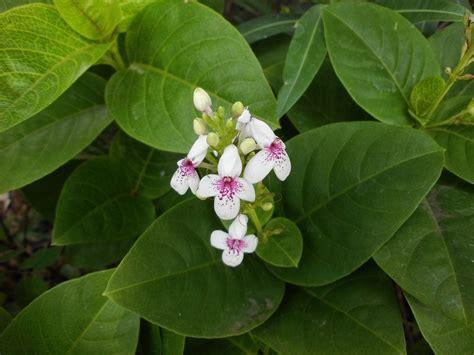 manfaat  khasiat bunga melati jepang