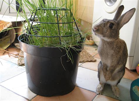 indoor garden for rabbits how to protect plants from rabbits