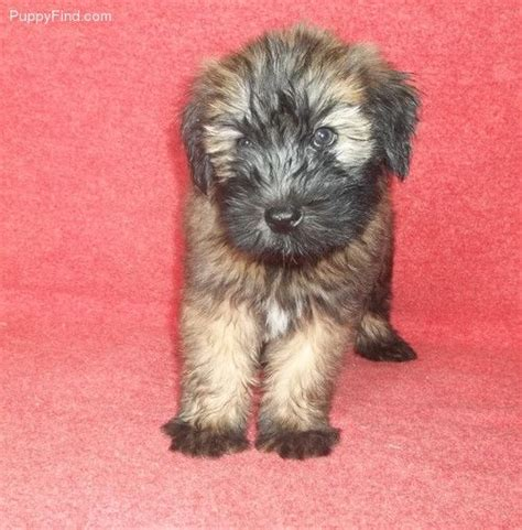 are there short hair wheaten terrier soft hair wheaten terrier puppies pinterest wheaten