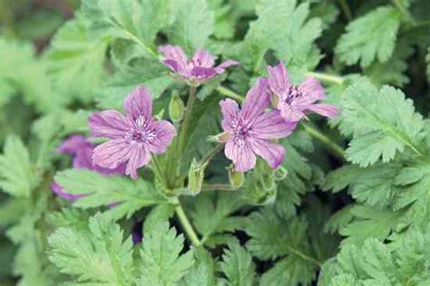 Bibit Benih Seeds Lunaria Biennis Money Plant Unique unique garden plants yard and garden capper s farmer