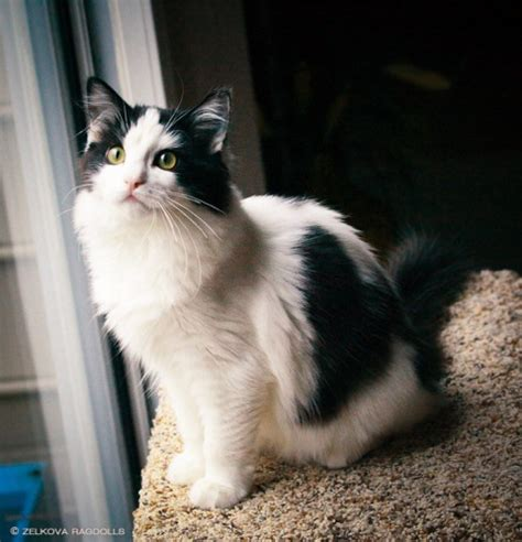 ragdoll white cat ragdoll cat personality characteristics and pictures