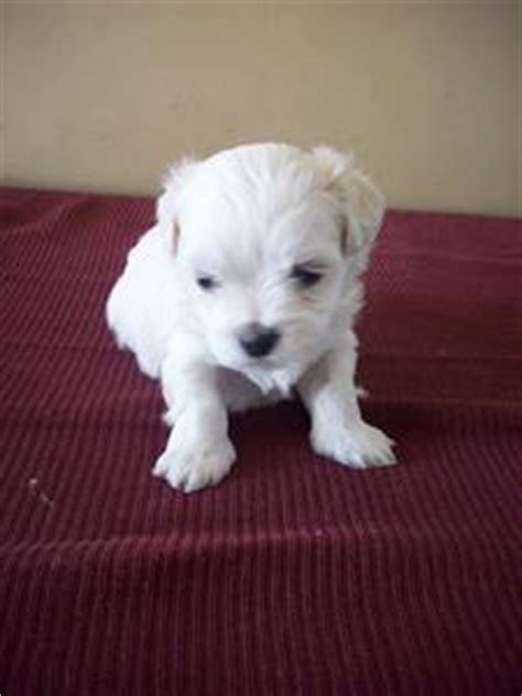 maltese shih tzu puppies for sale perth maltese x shih tzu puppies for sale perth australia free classifieds muamat