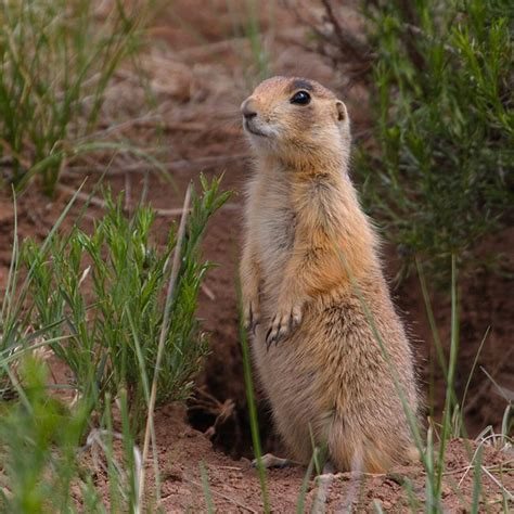 groundhog day utah 422 best images about sciuridae family squirrels marmots