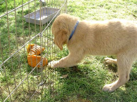 breedersclub net golden retrievers puppies for sale golden retriever including american etc golden
