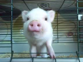 pot belly pig baby best price pynprice com