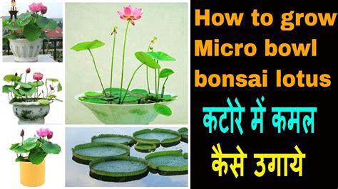 grow micro bowl bonsai lotus plant  seeds