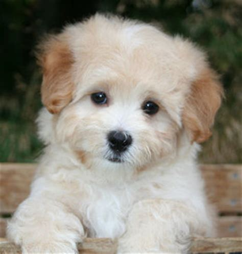 maltipoo puppies for adoption what of do i breeds picture