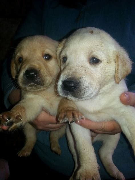 yellow labrador puppies for sale pedigree yellow labrador puppies for sale tiverton pets4homes