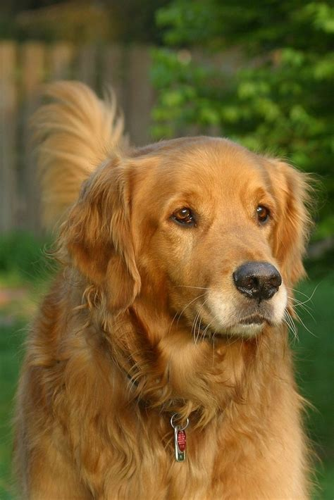 are golden retrievers family dogs golden retriever great family happiness is a golden