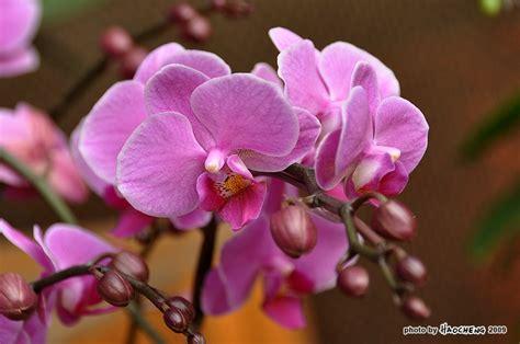 Jual Bibit Anggrek Bulan Jakarta florist jakarta toko bunga di jakarta indonesia bunga anggrek bulan phalaenopsis orchid