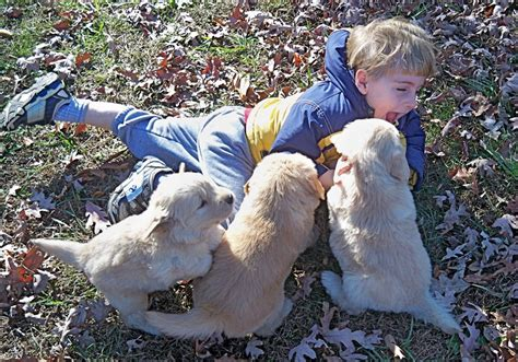 our sanity retreat golden retrievers our sanity retreat golden retrievers puppy gallery ii