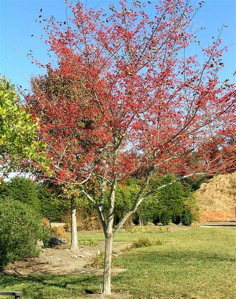 Hemispheres Home Decor good hawthorn tree landscape designs for your home
