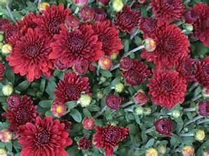 mums flower mum flowers hgtv