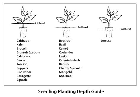 vegetable root depth planting out vegetable seedlings