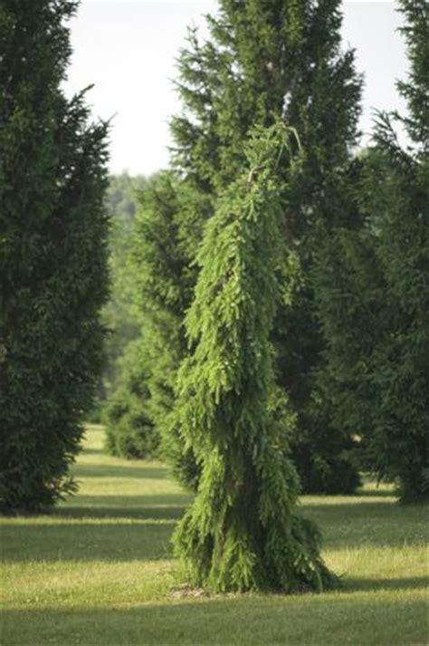 Rich s foxwillow pines nursery inc picea omorika pendula bruns serbian spruce