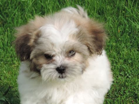 poodle x shih tzu for sale shih tzu x poodle puppies for sale doncaster south pets4homes