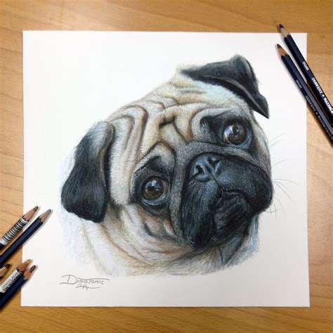 sketch of a pug pug color pencil drawing by atomiccircus on deviantart