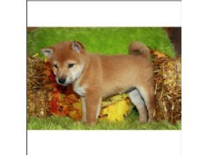 shiba inu puppies florida shiba inu puppies for sale shiba inu puppies for sale in orange prak jacksonville fl
