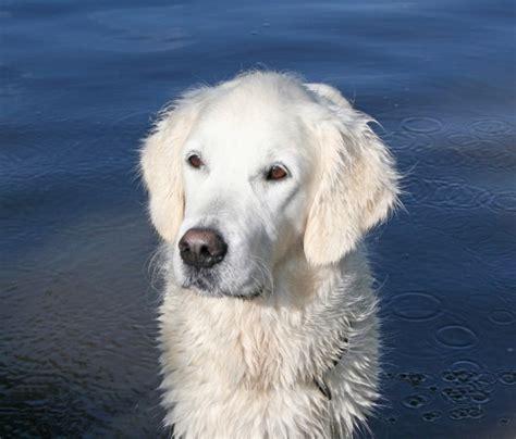 different breeds of golden retrievers the golden retriever not a different breed but a different standard gt puppy toob