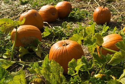 Pumpkin Garden by 20 November 2008 Veggie Garden