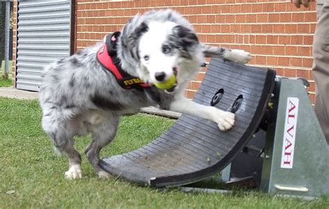 how to your for flyball harness for whippets sweaters for whippets elsavadorla