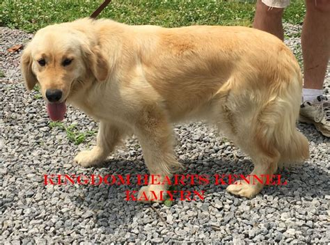 golden retriever for sale pa golden retriever adults for sale pa photo