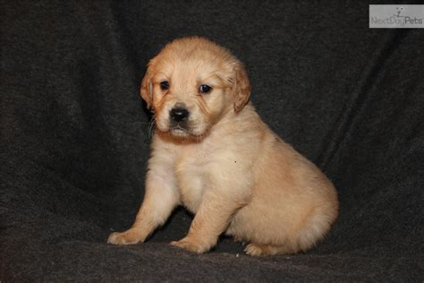 puppies for sale in rockford il golden retriever puppies for sale in illinois breeds picture