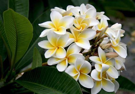 frangipane fiore plumeria frangipane piante da giardino plumeria