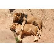 Lion And Lioness Animal Brown Sleep