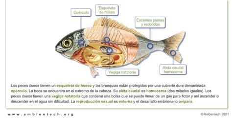 los peces de la 8483835460 caracter 237 sticas de los peces http www ambientech org spa category seres vivos anatom 237 a