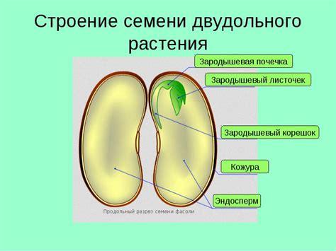 Строение семени растения схема
