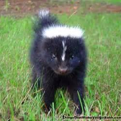 baby skunk skunks pinterest