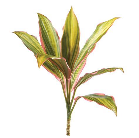 Picture Of Flowers In Vase Cordyline Fruticosa Tip Cordelyne Kiwi