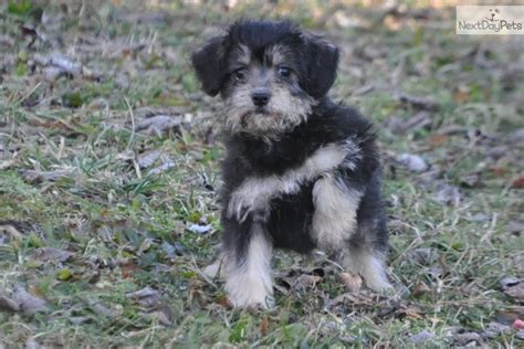 cavapoo puppies for sale missouri cavapoo puppy for sale near southeast missouri missouri 5326134a 4131