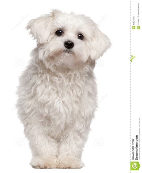 9 month puppy maltese puppy 9 month standing royalty free stock photos image 17124388
