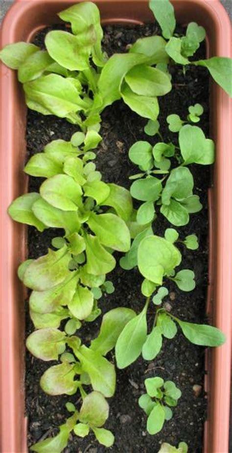 bis wann kann bã ume pflanzen pfl 252 cksalat rauke im balkonkasten wie wann ernten