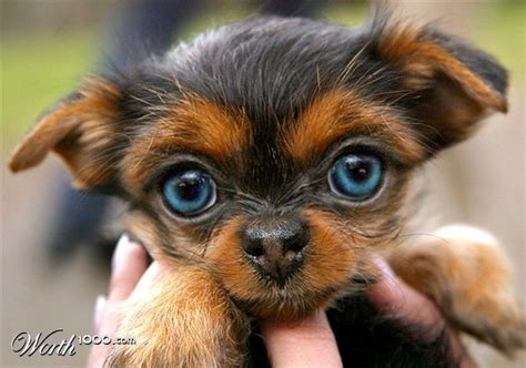blue eyed yorkie such a yorkie puppy i never saw a yorkie with blue yorkies are
