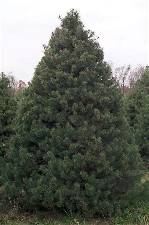 scotch pine trees our trees salsberry trees